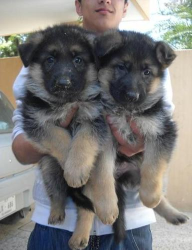German Shepherd Puppies For Sale For Sale In New Orleans Louisiana