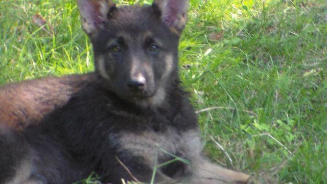german shepherd puppies for sale in south dakota german shepherd puppies will be ready for christmas for 656