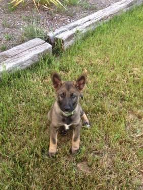 german shepherd weeks puppy california americanlisted sun