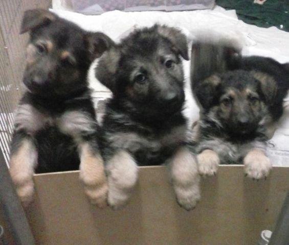 Anatolian Shepherd For Sale In Idaho Classifieds Buy And Sell In