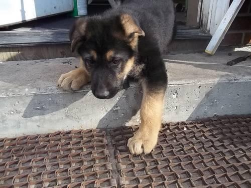 German Shepherd Pups For Sale In Caledonia Minnesota
