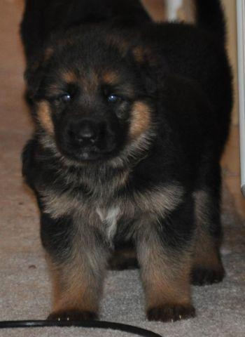 German Shepherd Pups bred for Work for Sale in Dickinson, Texas
