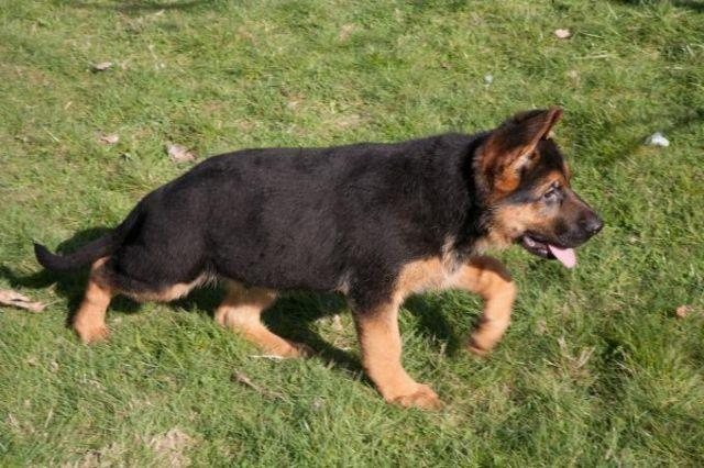 German Shepherd Siberian Husky Pets And Animals For Sale In The Usa
