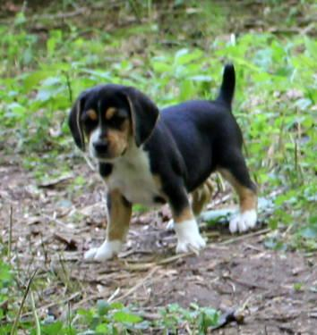 Pointer Puppies For Sale In Pennsylvania Classifieds Buy And Sell