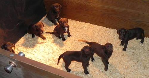 German Shorthair/Choco...