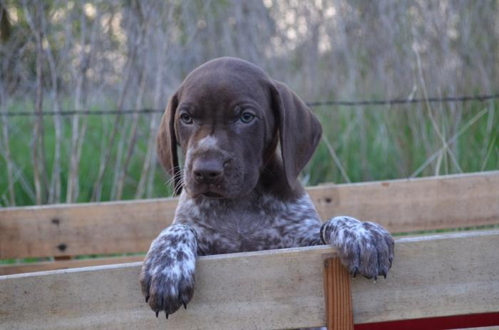 Pointer Puppies Classifieds Buy Sell Pointer Puppies Across The
