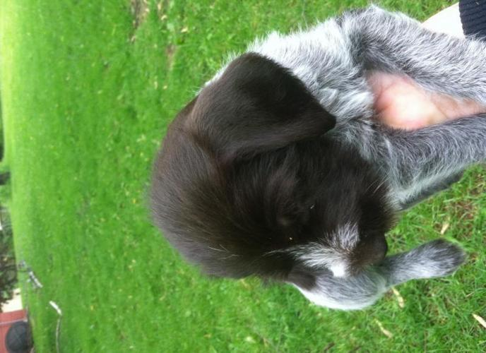 German Wirehaired Pointer Puppies For Sale In Carlisle Minnesota
