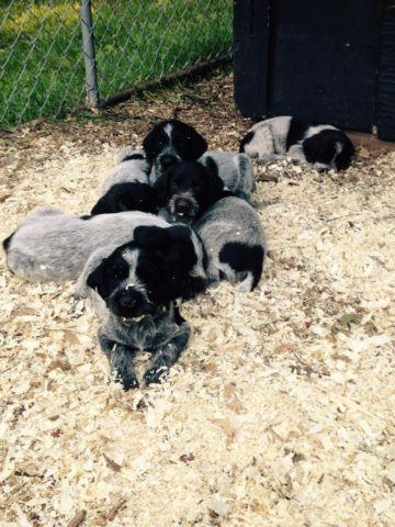 German Wirehaired Pointer Puppies For Sale In Backus Minnesota