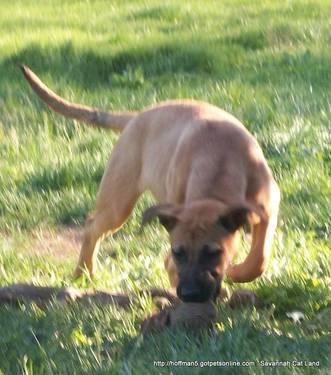 German Shepherd 50% /Pit bull 30% /bull mastiff 20%Puppies for Sale in ...