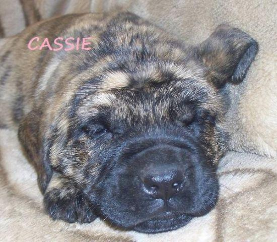 GIANT OLD ENGLISH MASTIFF PUPPIES!!! ONLY 2 LEFT