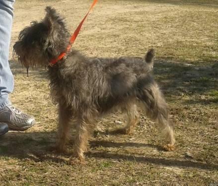 Giant Schnauzer - Caroline - Large - Adult - Female - Dog ...