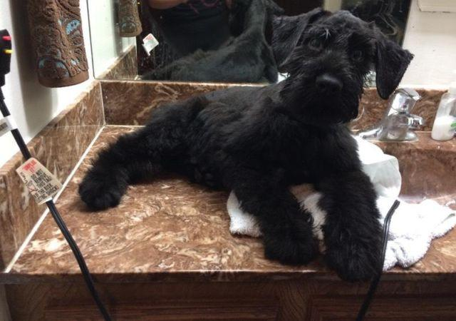 Giant Schnauzer For Sale In Texas Classifieds Buy And Sell In
