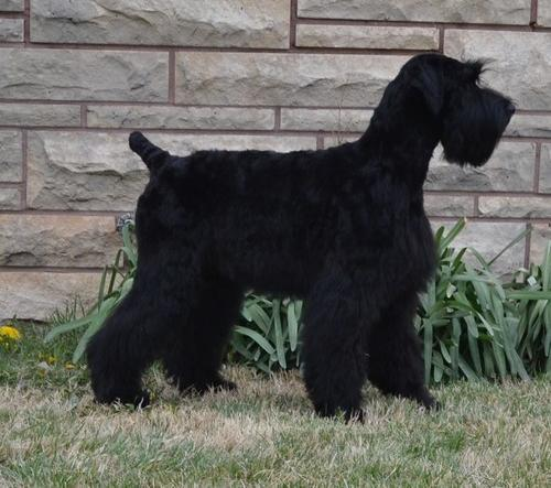 Giant Schnauzer Puppy for Sale - Adoption, Rescue