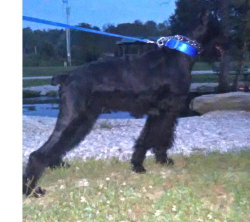 Giant Schnauzer Puppy for Sale - Adoption, Rescue for Sale ...