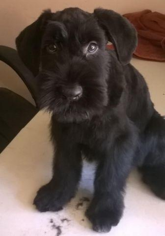 miniature schnauzer puppies pets and animals for sale in sacramento
