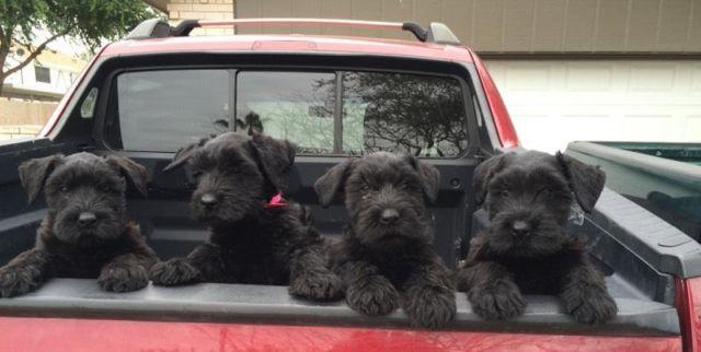Giant Schnauzer Pups For Sale In Mcallen Texas Classified