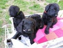 Giant Schnoodle Puppies For Sale In Haleyville Alabama Classified
