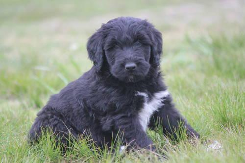 Pets And Animals For Sale In Kents Store Virginia Puppy And
