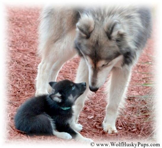 Giant Woolly Hybrids - Timber Wolf Puppies Available