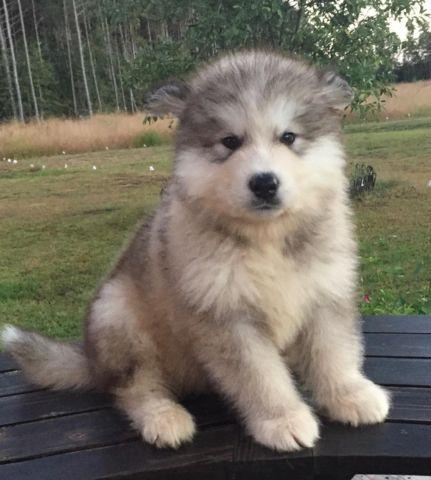 Giant Malamute Dog For Sale