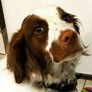 Adult brittany spaniel for sale — photo 2