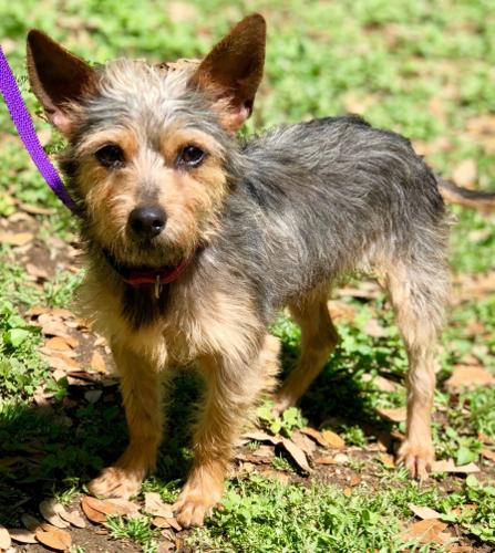 Gilligan Yorkshire Terrier Yorkie Adult Adoption Rescue For Sale