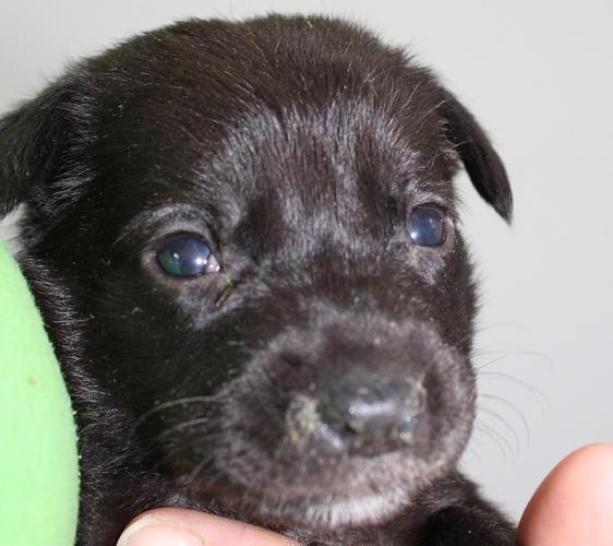 Ginger Labrador Retriever Baby - Adoption, Rescue