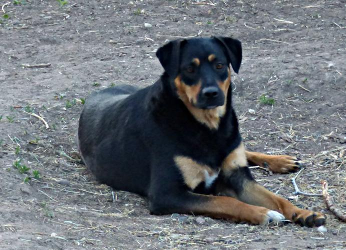 Ginger Rottweiler Adult Adoption Rescue For Sale In Bosque Farms
