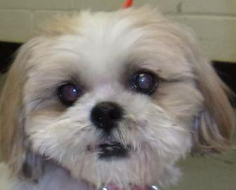 shih tzu rescue sacramento ginger shih tzu senior female for sale in sacramento 5586