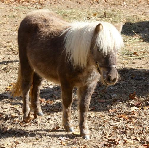 Ginger Snap Miniature Horse Young - Adoption, Rescue