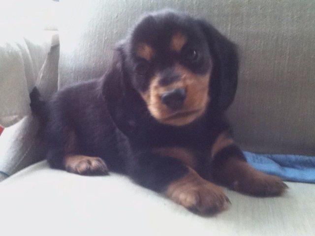Girl Miniature Dachshund Pups For Sale In Howell Michigan