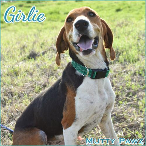 GIRLIE Treeing Walker Coonhound Young - Adoption, Rescue