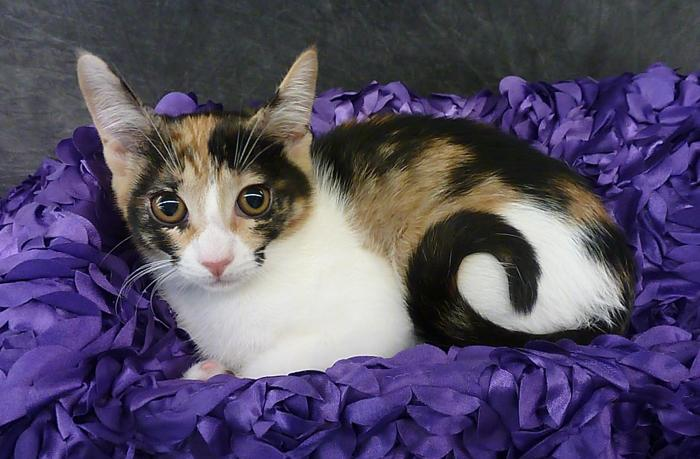 Gisela - Calico Kitten Calico Baby - Adoption, Rescue for Sale in ...