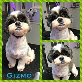 Gizmo Honey Shih Tzu Adult Adoption Rescue For Sale In Austin