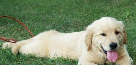 Gjd Golden Retriever Puppies For Sale In Birmingham Alabama