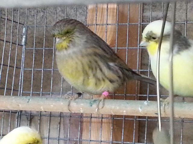 Gloster Canaries For Sale Gloster Canaries Hens