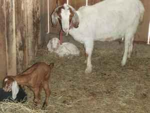 goats for sale: Nubian, Boer (Coolville)