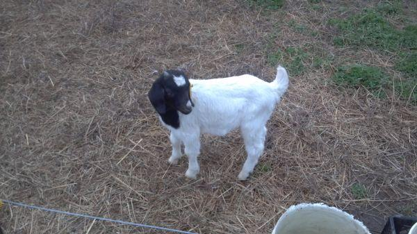 goats for sale - $100 (Murphy NC)