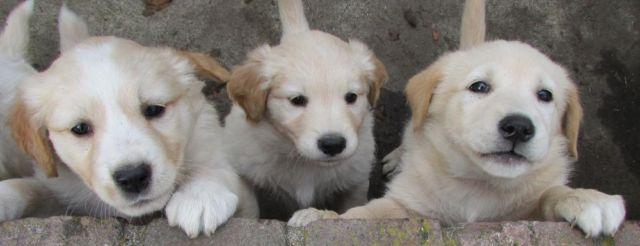 Golden Retriever Mix Dogs Pets And Animals For Sale In Washington