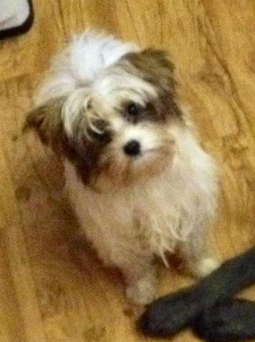 Gold and white Parti Yorkie male