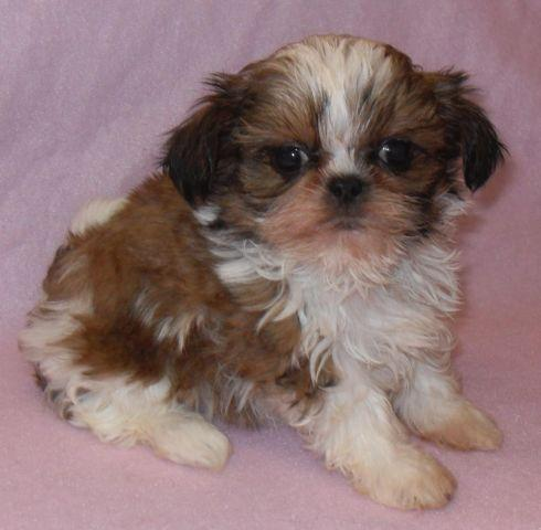 Shih tzu mix puppies is a Female Chihuahua Puppy For Sale in Seattle ...