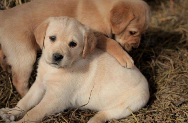 Goldador Golden Retriever Labrador Puppies For Sale In Nunnelly