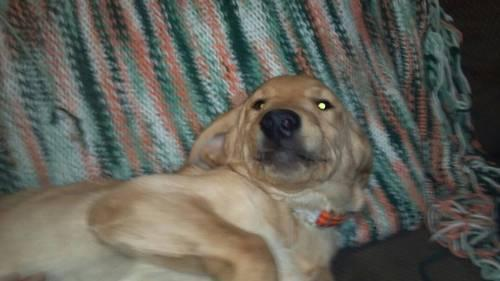Goldador Hybred Male Puppy For Adoption Quot Buddy Quot 5 Months Old For Sale In Cascade Wisconsin