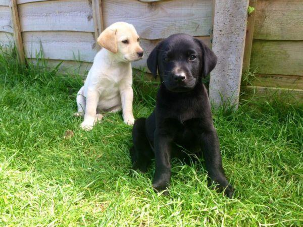 Goldador puppiees (lab & golden retriever mix puppies)Don't miss out