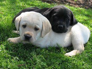 Goldador Puppies Lab And Golden Retriever Mix Best Of