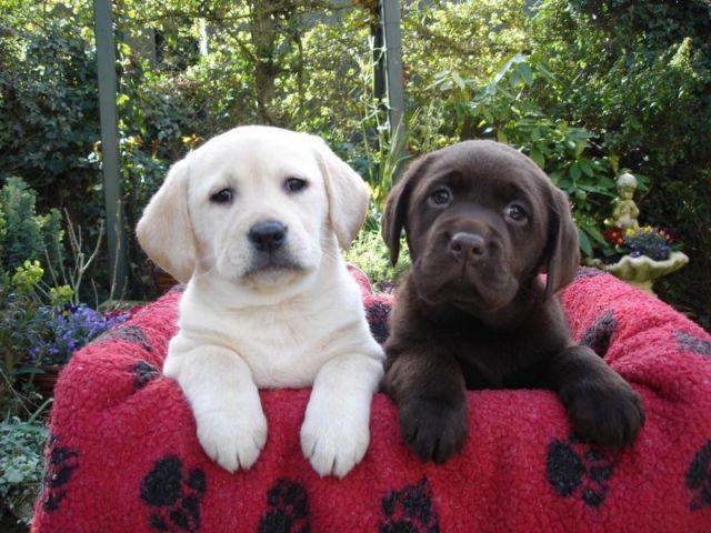 Goldador Puppies Lab Golden Retriever Mix For Sale In Arboga