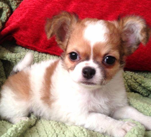 Golden Boy Shih Tzu Long Hair Chihuahua Mix