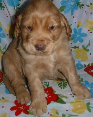 Golden Cocker Retriever Puppy For Sale Adoption Rescue For Sale