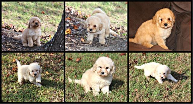 Golden-Doodle F1B Puppies 2 Males 2 Females