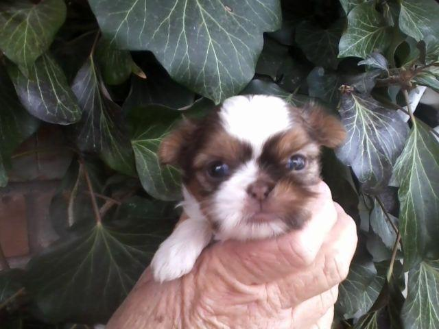 Goldenliver Imperialteacup Shih Tzu Puppies For Sale In